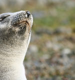 Antartic Fur Seal samping the air Royalty Free Stock Photos