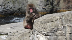 Antartican monkey Stock Photography