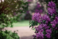 Fantasy Lilac trees in blossom. Fantasy background . Magic forest with road.Beautiful spring landscape.Lilac trees in blossom royalty free stock photography