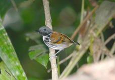 Antbird macchiato Fotografia Stock