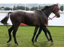 Ante carrera de caballos. Foto de archivo libre de regalías