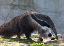 anteater γίγαντας Στοκ φωτογραφία με δικαίωμα ελεύθερης χρήσης