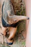 anteater γίγαντας Στοκ Εικόνα