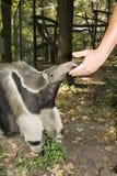 anteater γιγαντιαίο tridactyla myrmecophaga Στοκ Φωτογραφίες