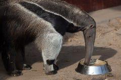 anteater γιγαντιαίο tridactyla myrmecophaga Στοκ Εικόνες