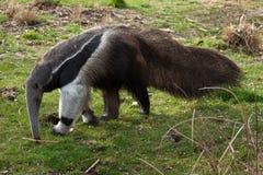anteater γιγαντιαίο tridactyla myrmecophaga Στοκ Φωτογραφία