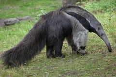anteater γιγαντιαίο tridactyla myrmecophaga Στοκ φωτογραφία με δικαίωμα ελεύθερης χρήσης