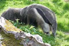 anteater γιγαντιαίο tridactyla myrmecophaga Στοκ εικόνες με δικαίωμα ελεύθερης χρήσης