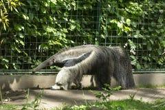 anteater γιγαντιαίο watercolor χεριών σχεδίων Στοκ φωτογραφίες με δικαίωμα ελεύθερης χρήσης