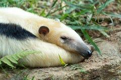 anteater πιαμένος Στοκ φωτογραφία με δικαίωμα ελεύθερης χρήσης