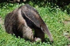 Anteater που ψάχνει το γεύμα Στοκ Φωτογραφίες
