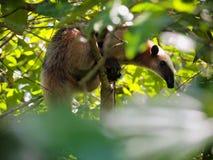 Anteater σε ένα δέντρο ζουγκλών Στοκ Εικόνες