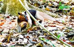 Anteater στις άγρια περιοχές Στοκ Εικόνες