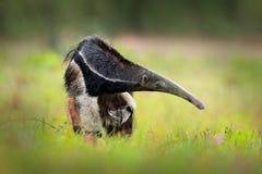 Anteater, χαριτωμένο ζώο από τη Βραζιλία Γιγαντιαίο Anteater, tridactyla Myrmecophaga, ζώο με τη μακριά ουρά ane καταγράφει τη μύ Στοκ Εικόνες