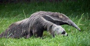 anteater рисуя гигантскую акварель руки Стоковые Фото