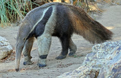 Anteater stock photos