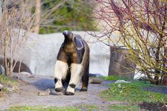 anteater Στοκ Εικόνες