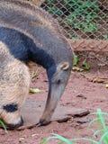 anteater Royalty-vrije Stock Foto
