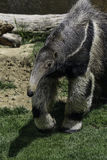 Anteater Royalty Free Stock Images