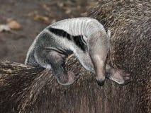 Anteater baby Stock Photos