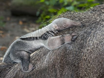 Anteater baby Royalty Free Stock Image