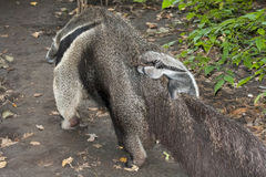 Anteater baby Royalty Free Stock Photo