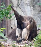 Anteater. Big anteater in the Zoo Stock Images