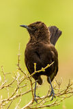 Anteater Chat Stock Photos