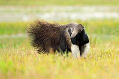 Anteater, cute animal from Brazil. Giant Anteater, Myrmecophaga tridactyla, animal long tail and log muzzle nose, Pantanal, Brazil. Wildlife scene, wild nature royalty free stock photography