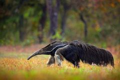 Anteater, cute animal from Brazil. Running Giant Anteater, Myrmecophaga tridactyla, animal with long tail and log nose, in nature. Forest habitat, Pantanal Royalty Free Stock Photos