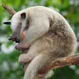 Anteater di Tamandua Fotografia Stock