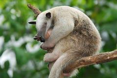 Anteater do sul de Tamandua imagem de stock