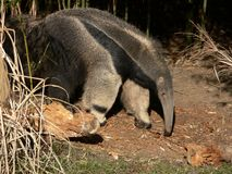 Anteater géant Image stock