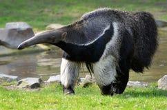 Anteater géant marchant sur l'herbe Image stock
