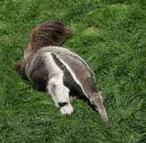 Anteater Royalty Free Stock Photo