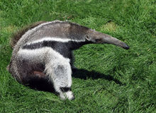 Anteater. A giant anteater sitting on the grass looking for food Royalty Free Stock Photo