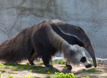 anteater gigant zdjęcie royalty free