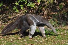 anteater gigant Obraz Royalty Free