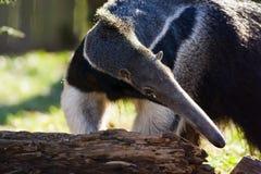 Anteater gigante Fotografia Stock Libera da Diritti