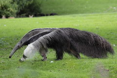 Anteater gigante fotografia stock