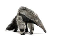 Anteater gigante joven contra el fondo blanco Fotos de archivo libres de regalías