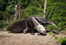 Anteater gigante (tridactyla del Myrmecophaga) Immagine Stock Libera da Diritti
