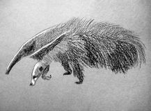 The anteater Royalty Free Stock Image