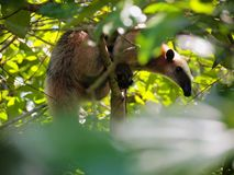 Anteater on a jungle tree Stock Photo