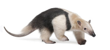 anteater kołnierzasty tamandua tetradactyla Fotografia Royalty Free