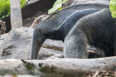 Anteater Stock Photography
