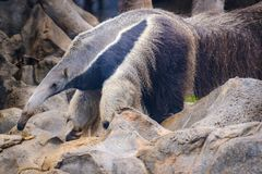 Anteater Myrmecophaga tridactyla, also known as the ant bear. Wildlife animal Stock Photos