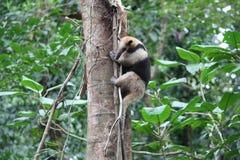 Anteater na drzewie zdjęcie royalty free