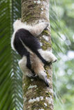 Anteater, Północny Tamandua Fotografia Royalty Free