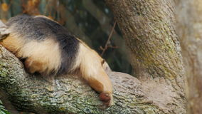 Anteater Southern Tamandua very funny crawling on his belly on a tree branch